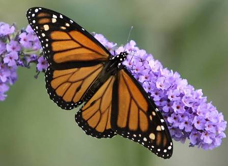 Danaus Pelxippus, nom científic de la papallona monarca