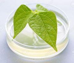 Plàntula transgènica en una placa de Petri