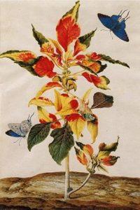 Amaranthus tricolor, Maria Sibylla Merian (1695)